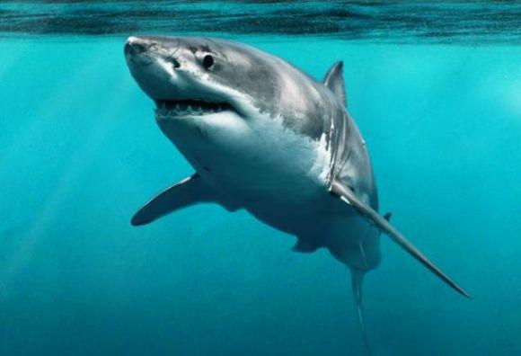 supreme_shark_580_396_80_s
